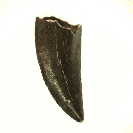 african cretaceous raptor tooth 41a