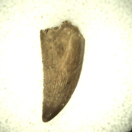 north africa cretaceous raptor tooth 35a