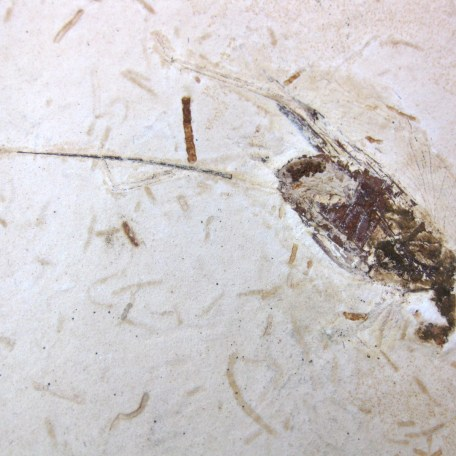 cretaceous crato insect 116a