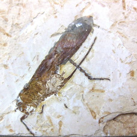 cretaceous crato insect 127a
