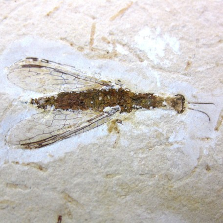 cretaceous crato insect 149a