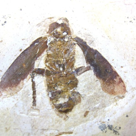 cretaceous crato insect 160a