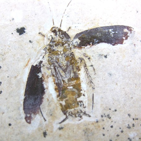 cretaceous crato insect 161a