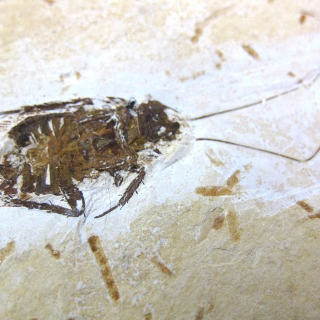 cretaceous crato insect 165a
