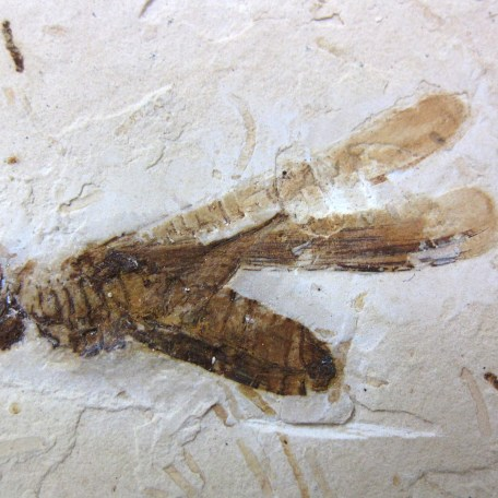 cretaceous crato insect 174a