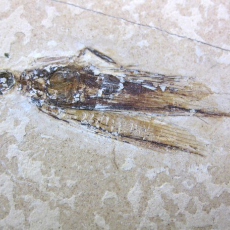 cretaceous crato insect 183a