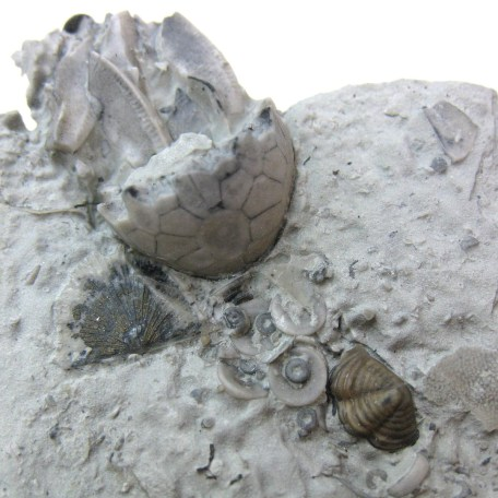 Fossil Silurian Age Crinoid Calyx from the Waldron Shale of Indiana