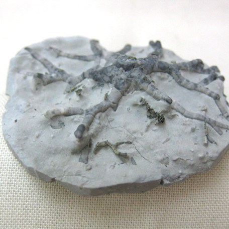 Fossil Silurian Age Crinoid Holdfast from the Waldron Shale of Indiana