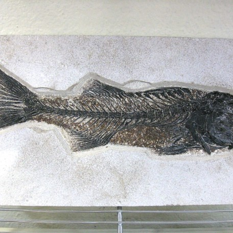 Eocene Age Mioplosus Fossil Fish from the Green River Formation of Kemmerer Wyoming