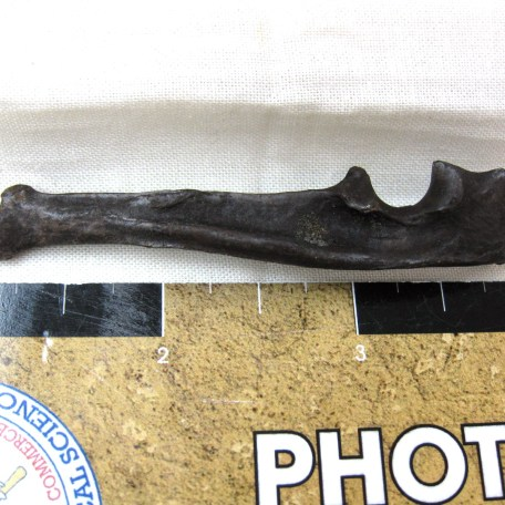 Fossil Lutra canadensis Ice Age Otter Bone from Florida