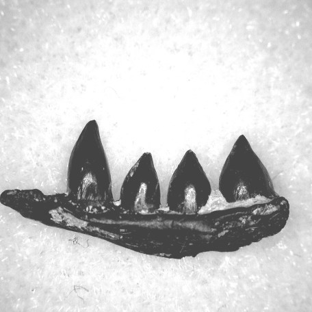 Fossil Permian Age Euryodus Amphibian Jaw from Oklahoma