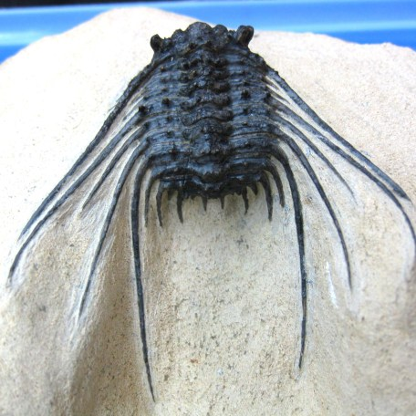 Fossil Devonian Age Leonaspis Trilobite from North Africa