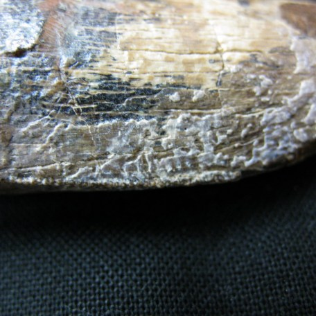 wyoming lance creek t-rex tooth 2g