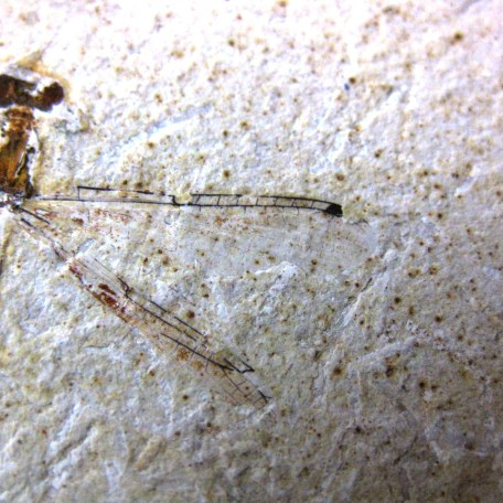 Fossil Cretaceous Age Dragonfly from the Crato Formation of Brazil