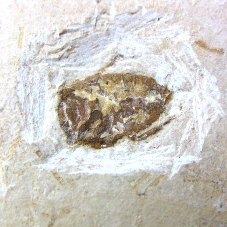 Fossil Cretaceous Age Insect from the Crato Formation of Brazil