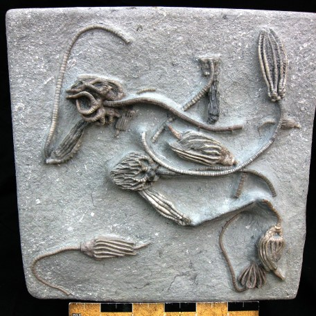 mississippian crawfordsville crinoid plate 27a