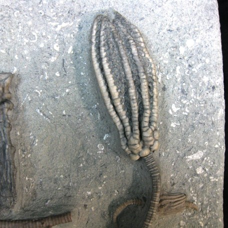 mississippian crawfordsville crinoid plate 27i