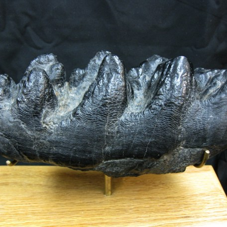pliocene gomphotherium tooth 1a