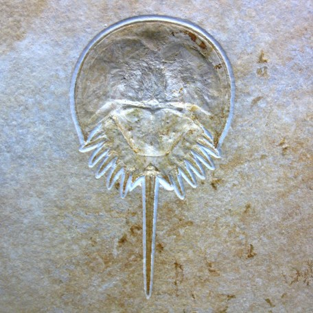 german jurassic solnhofen horseshoe crab 5a
