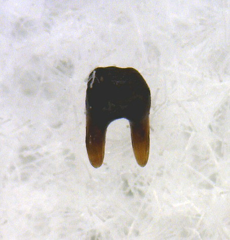 texas permian xenacanthus shark tooth 16a