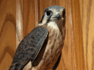 Digby the American Kestrel