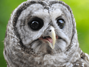 Elmo the Barred Owl, photographed by Joni James