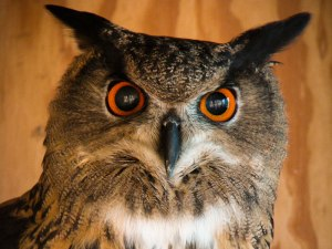 Taki the Eurasian Eagle Owl