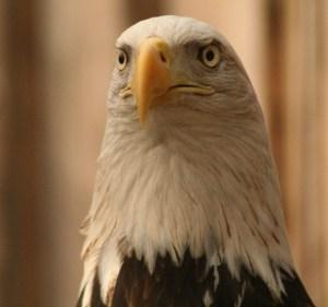 Piper the Bald Eagle