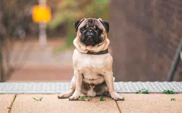 Pug dog breed:
