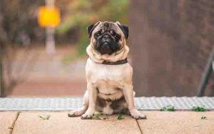Pug dog breed: