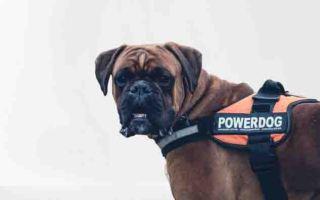 boxer dog breeds