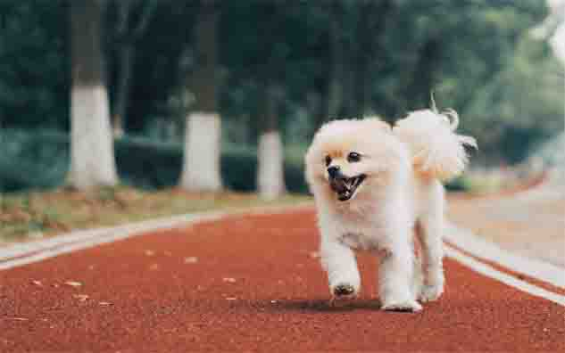 Pomeranian price in India