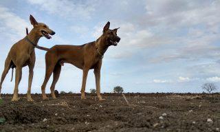 kombai dog breed