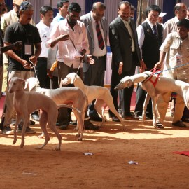 Indian Breeds Speciality Dog Show 2013
