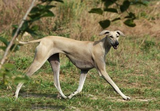 1st Indian Dog Breeds Speciality Show