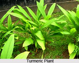 2_Turmeric_Plant