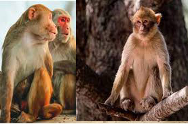 Monkey B Virus; Know About the New Threat