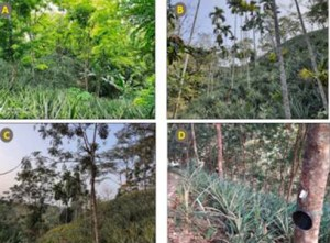 Pineapple Agroforestry Address Climate Change, Biodiversity Loss
