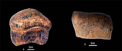 Hybodont Shark From Jurassic Age In Jaisalmer