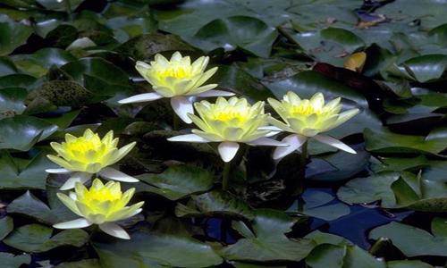 Miniature Pond Plants