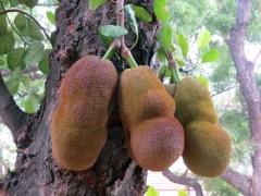 jackfruit_kaani_2018_01