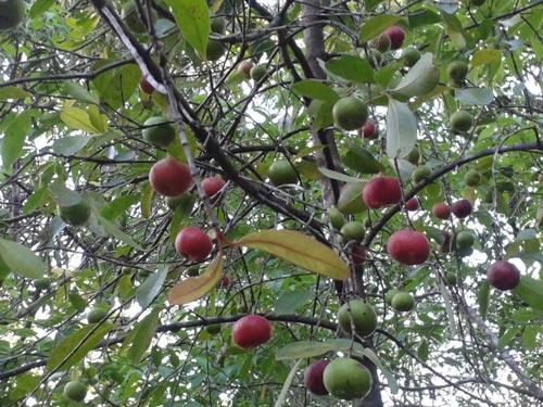 Kokum_Harvest_Savita_Uday_BuDa01.jpg