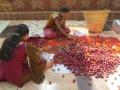 Kokum_Harvest_Savita_Uday_BuDa03.JPG
