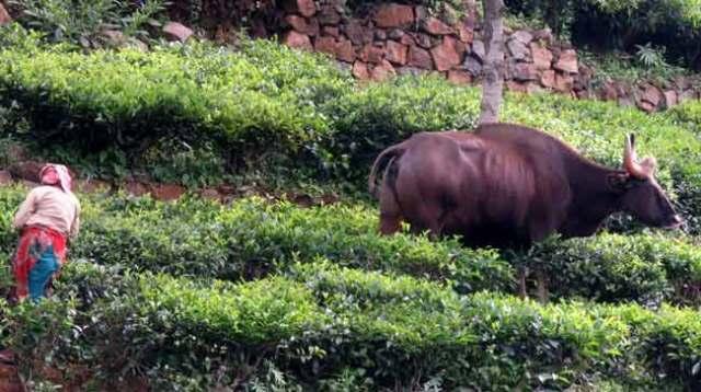 davidson_2020-tourism-buffalo