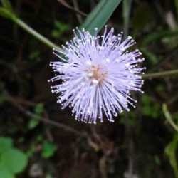 vidyodaya_blossom_blue_globe_web
