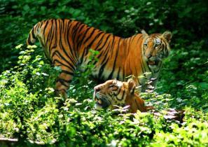 Tigers At Indira Gandhi Zoological Park Vishakhapatnam