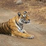 Tigress (Panthera tigris) sitting on the dirt road
