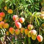 National Fruit of India