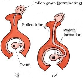 http://3.bp.blogspot.com/-Soau0gtPcng/VdzKhhFYaFI/AAAAAAAAAGc/vHmSQI6ufJA/s1600/fertilization-in-flower-class-7ncert-science.JPG