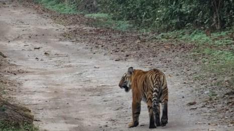 Tiger Siblings, Dhikala 2014; Photo by M. Karthikeyan
